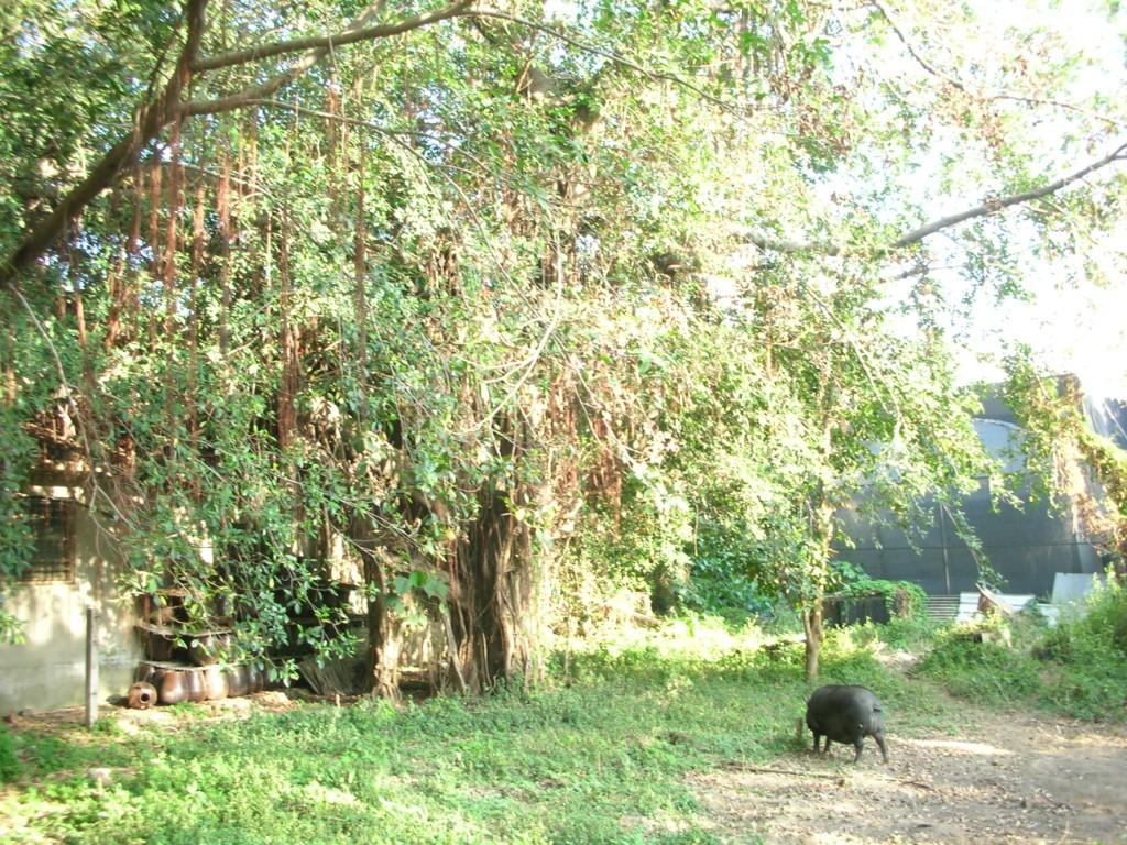 伙食團後院的大樹公